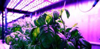 basilic experience mit plante saveur ia